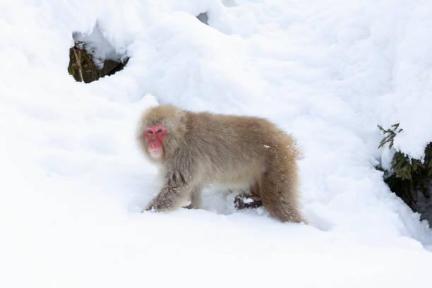 Junge japanische Makaken auf der Suche nach Nahrung in verschneiten Bergen – Foto