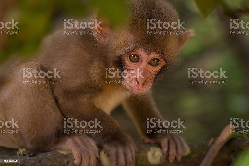 Young Japanese Macaque stock photo