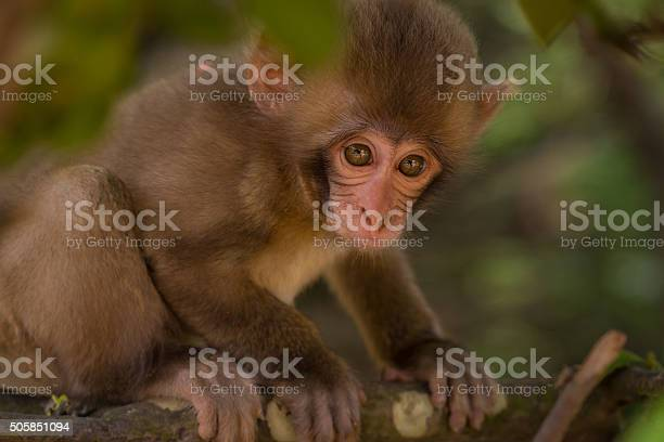 Young Japanese Macaque Stock Photo - Download Image Now