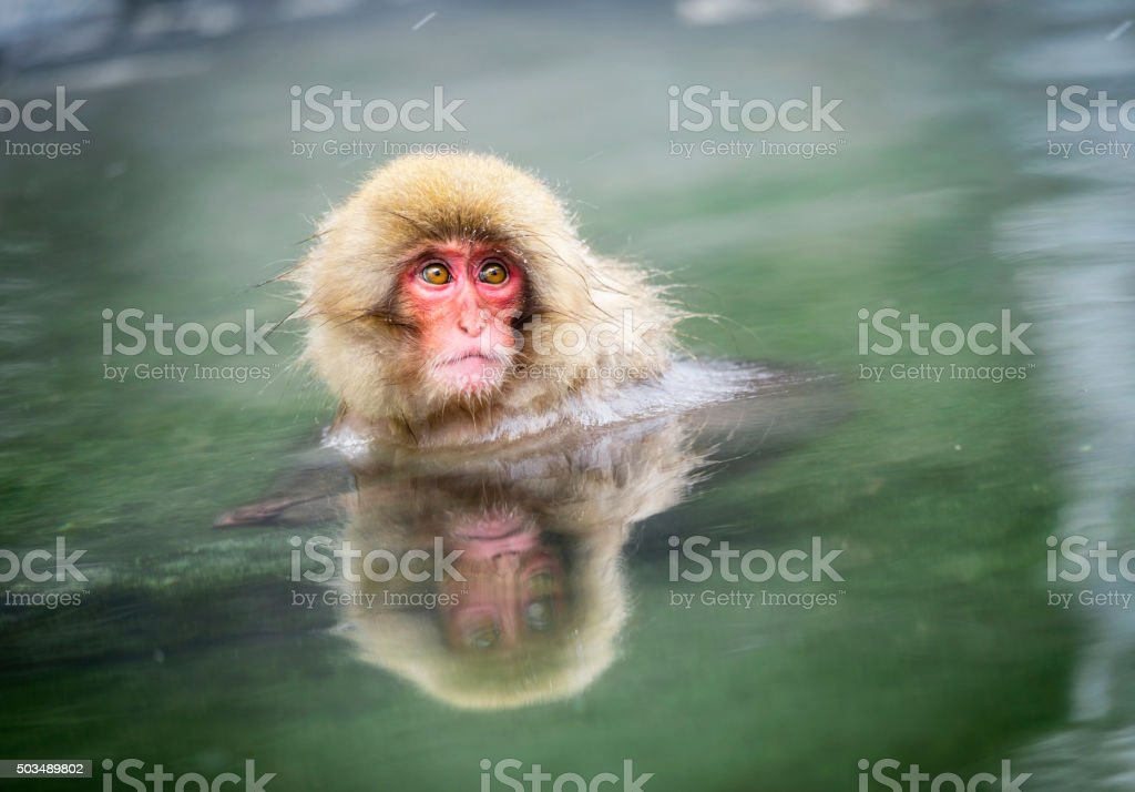 Young Japanese Snow Monkey in the Wild stock photo