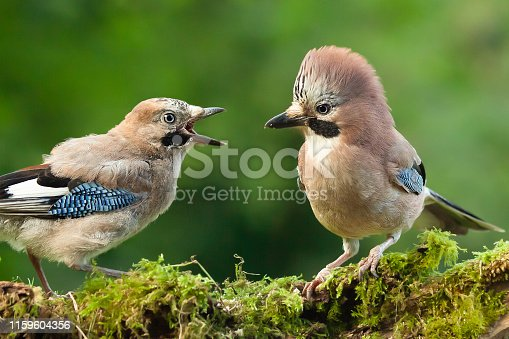 Jay bird parent with young chick wanting food, close up on a moss covered log in a woodland scene.