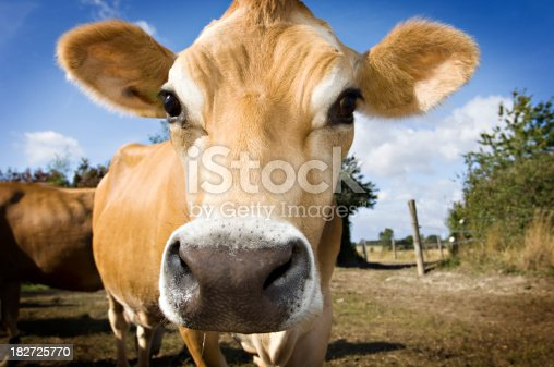 A young Jersey calf in the field.More farm animals here.