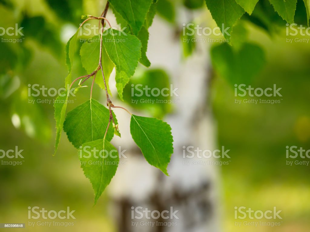 Young juicy green leaves on the branches of a birch in the sun outdoors in spring or summer on the background of birch trunk, Springtime close up vivid image stock photo