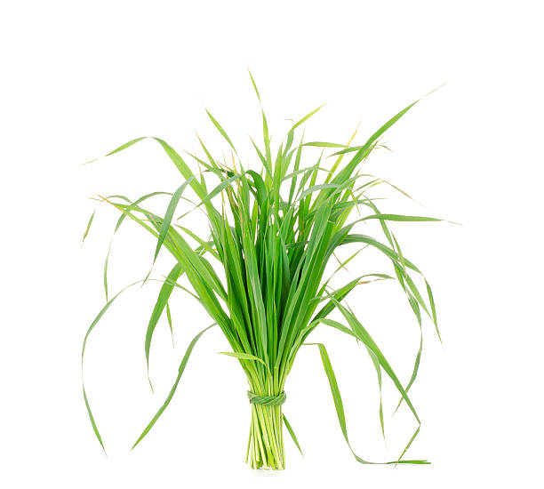 Young juicy green sprouts of the wheat, oats on white Young juicy green sprouts of the wheat, oats on white background oat crop stock pictures, royalty-free photos & images