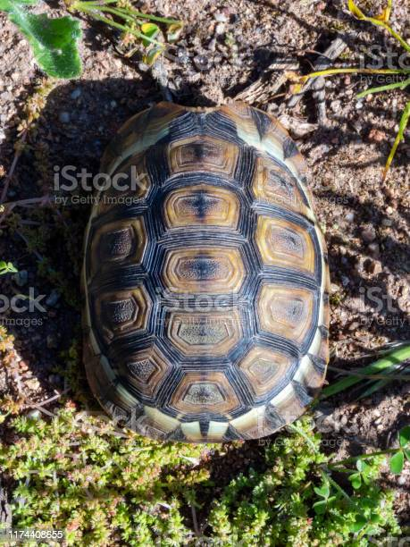 Young juvenile angulate tortoise picture id1174408655?b=1&k=6&m=1174408655&s=612x612&h=1orpfbsgi5g6uou3m5dm116chw92toyibwvtncmplps=