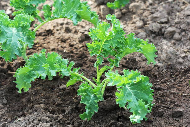 Young kale growing in the vegetable garden stock photo