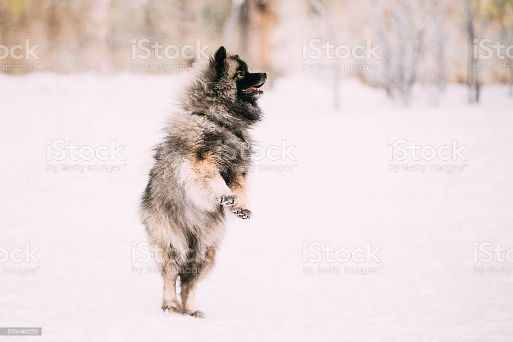 Young Keeshond, Keeshonden dog play and jumping outdoor in snow, stock photo