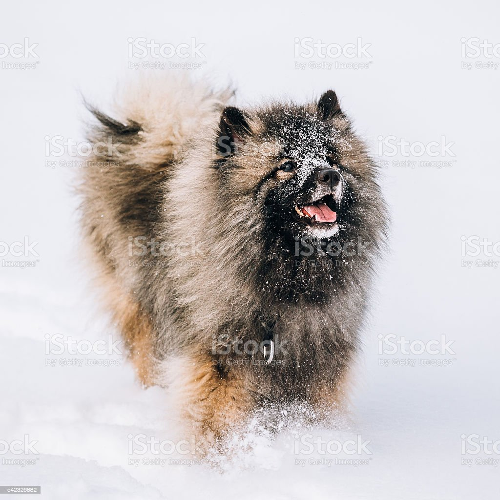 Young Keeshond, Keeshonden Dog Play In Snow, Winter stock photo