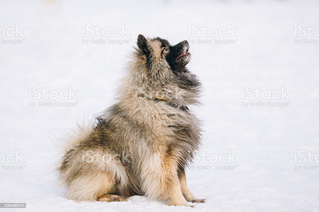 Young Keeshond, Keeshonden dog sit in snow, winter season stock photo