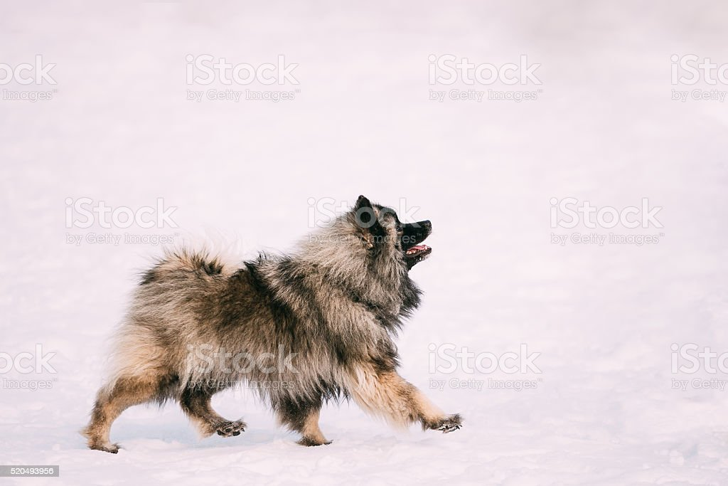 Young Keeshond, Keeshonden dog walk in snow stock photo