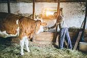 A photo of a young kid(8-9 Years) who is trying to feed the cow. The cow is licking his hand
