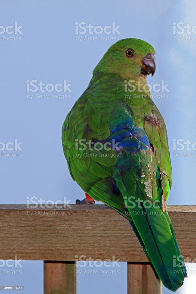 Young King Parrot perched on veranda rail stock photo
