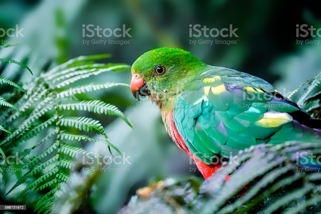 Young King Parrot stock photo