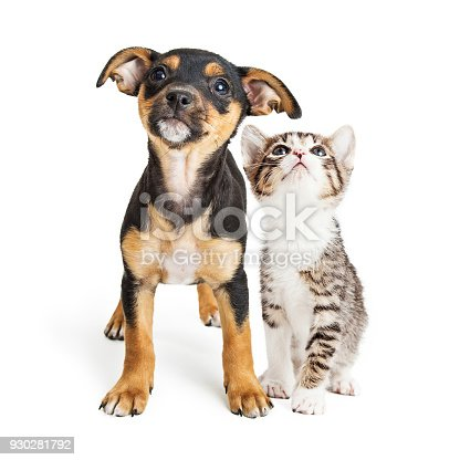 istock Young Kitten and Puppy Together Looking Up 930281792