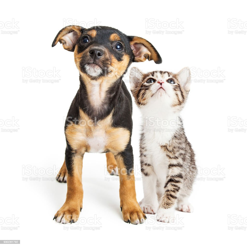 Young Kitten and Puppy Together Looking Up stock photo