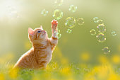 young kitten playing with soap bubbles, bubbles on meadow