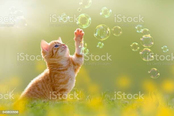 Young kitten playing with soap bubbles bubbles on meadow picture id545800556?b=1&k=6&m=545800556&s=612x612&h=rmfa38sa4d dbfz8xcr0btsrefenvwi2k2lydyeuv1i=
