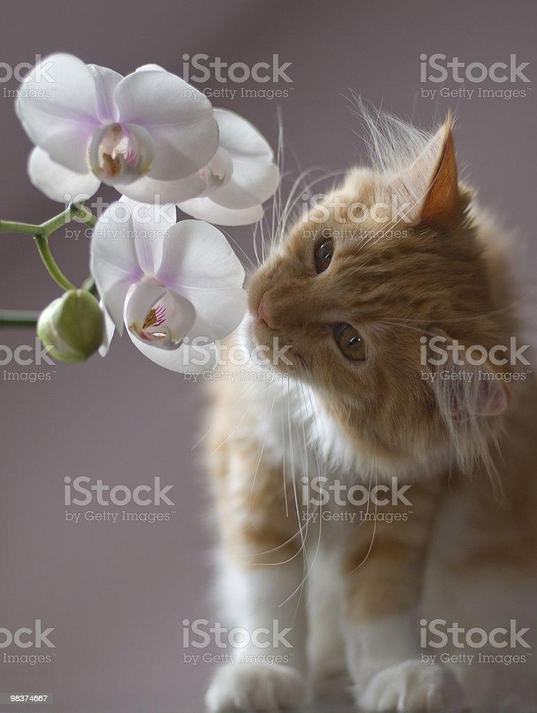 Giovane kitty Annusare un'orchidea foto stock royalty-free