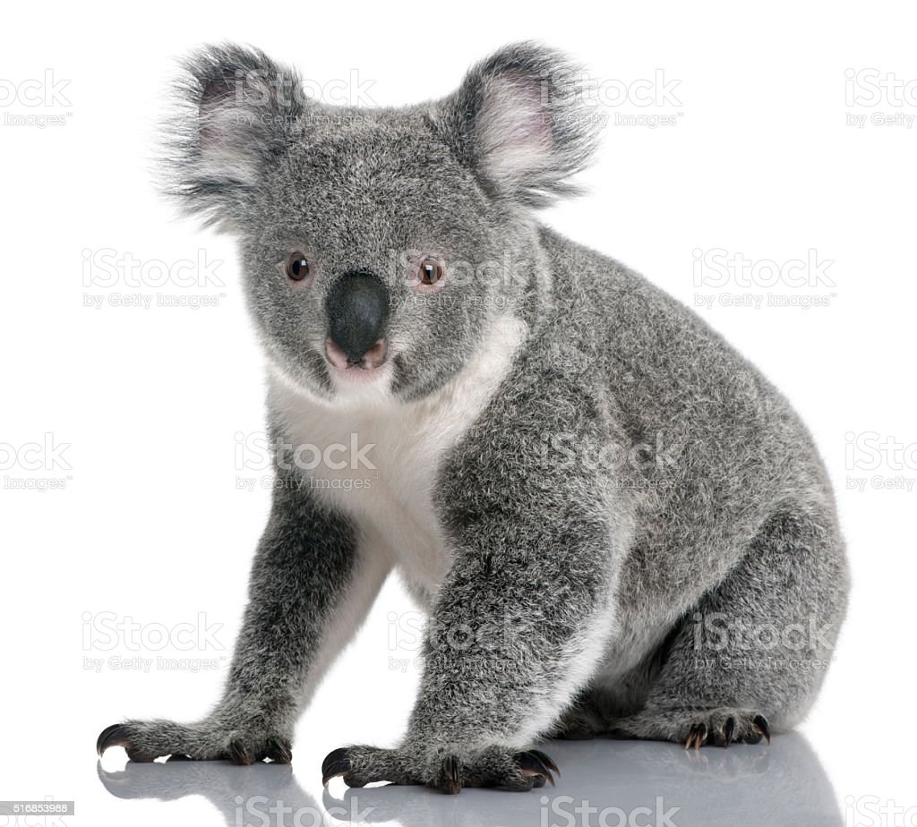 Young koala, Phascolarctos cinereus, 14 months old, sitting stock photo
