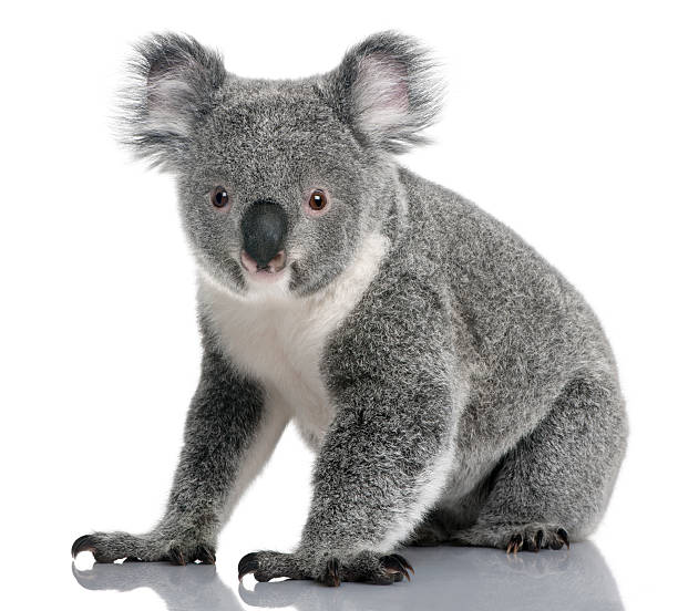 young koala, phascolarctos cinereus, 14 months old, sitting - mammal stock photos and pictures