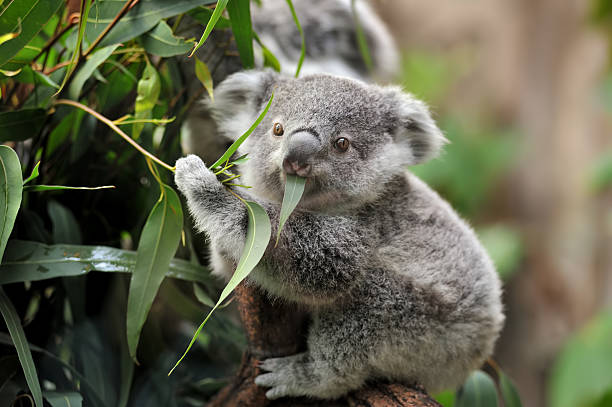 young koala stock photo