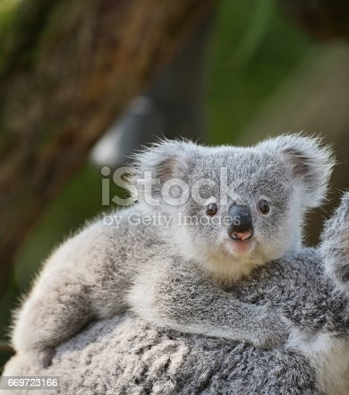 istock young koala 669723166