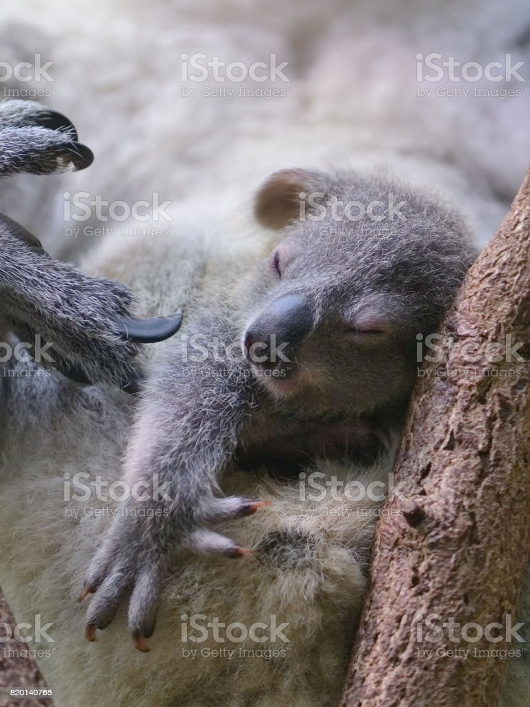 young koala stock photo