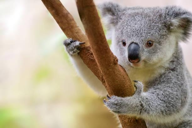 Junge koala – Foto