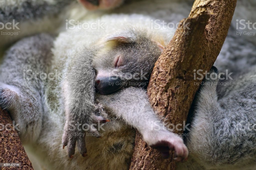 young koala with mother stock photo