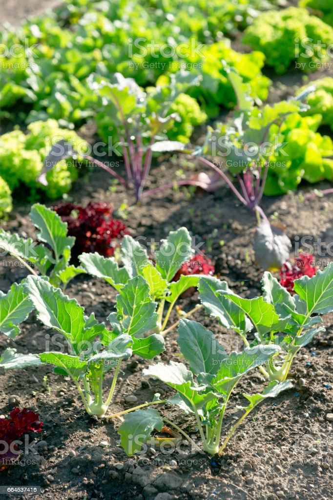 Young kohlrabi on a patch royalty-free stock photo