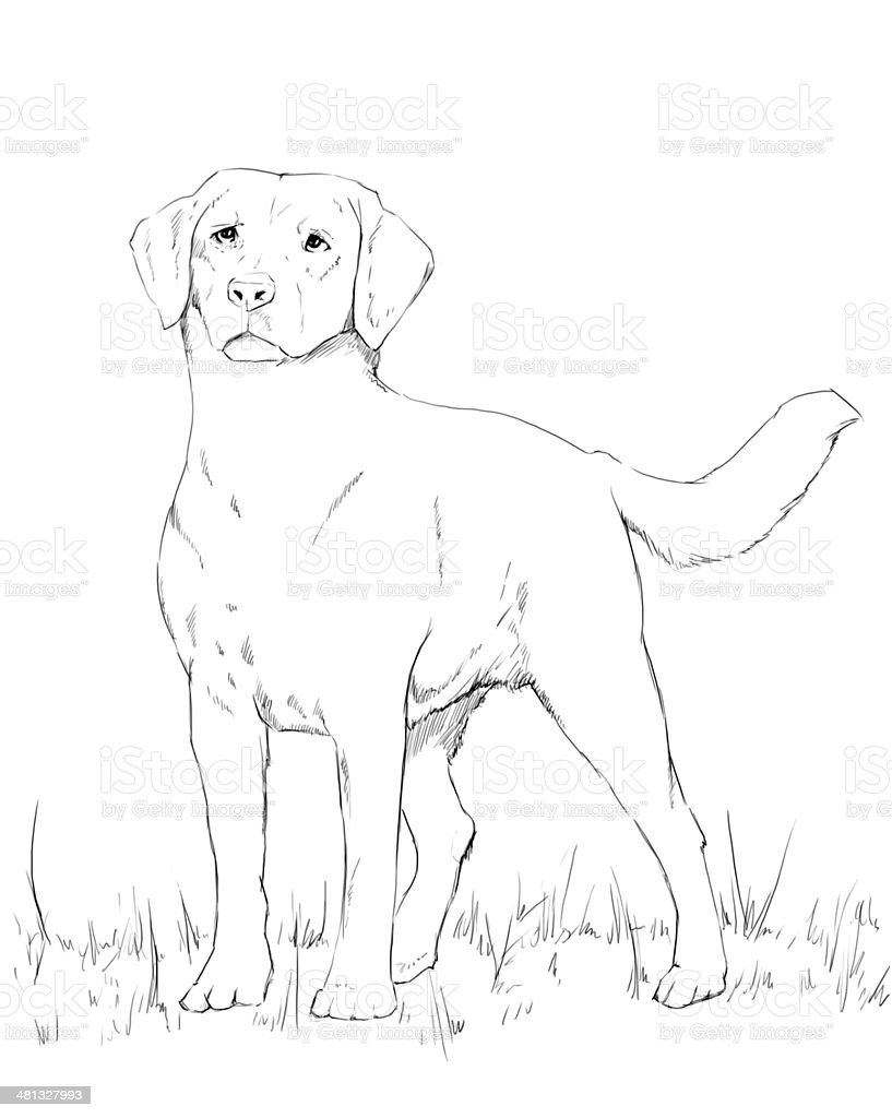 Young labrador dog standing pencil drawing stock image