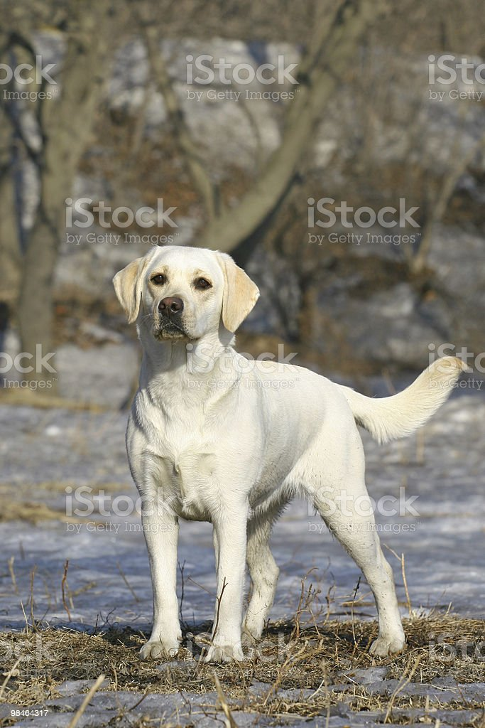 Young labrador royalty-free stock photo