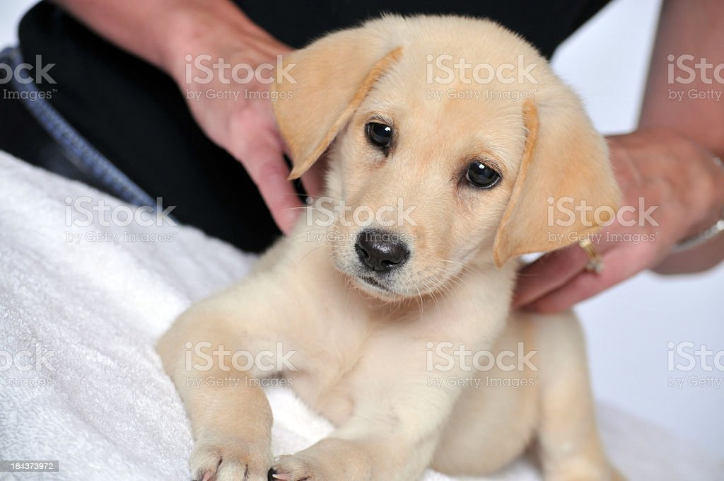 Young Labrador Puppy getting a Massage at the Dog Spa stock photo