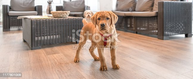 istock Young Labrador puppy in the waiting room of a modern veterinary practice 1177801009