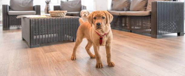 Junger Labrador-Welpe im Wartezimmer einer modernen Tierarztpraxis – Foto