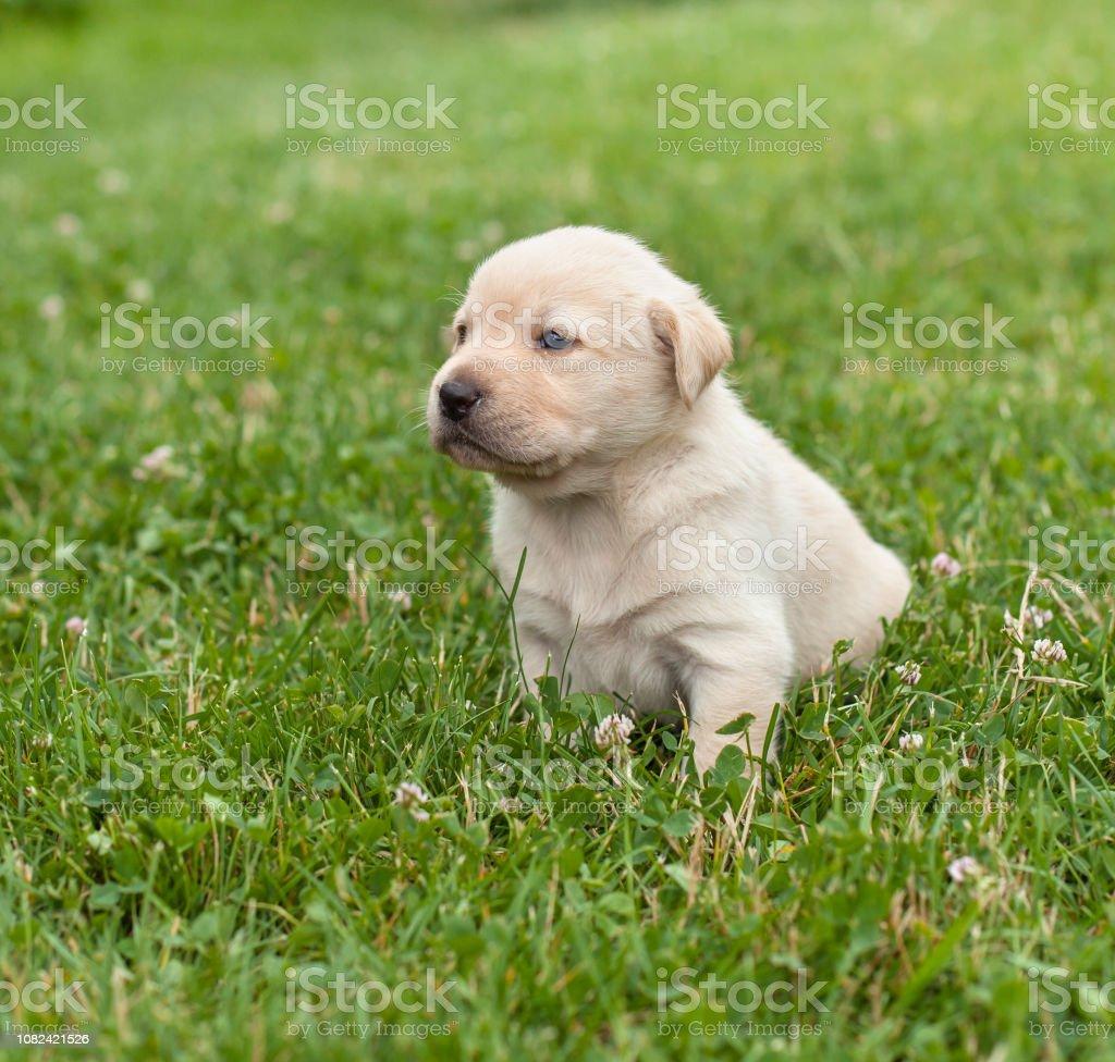 Junger Labrador-Welpe nach einem kurzen Spaziergang auf der Wiese ausruhen – Foto