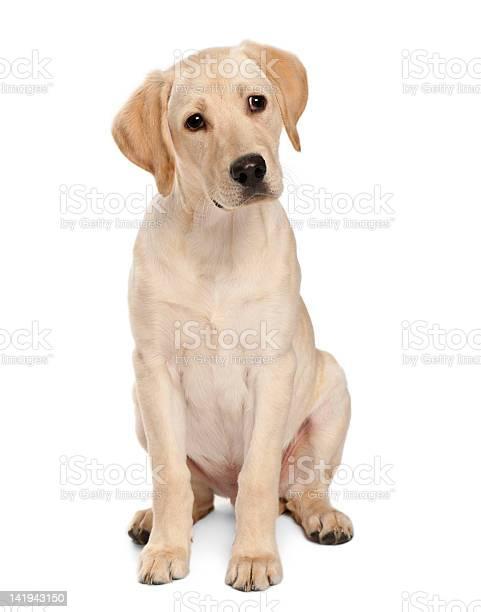 Young labrador retriever 4 months old picture id141943150?b=1&k=6&m=141943150&s=612x612&h=uqcd3owcke ipj3n8g6fjtmbt7njnnf5dogqecjjmki=