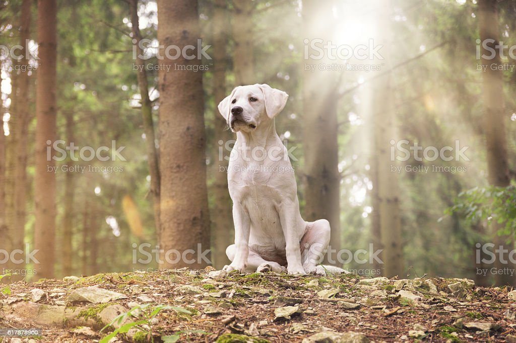 young labrador retriever dog in the forest – Foto