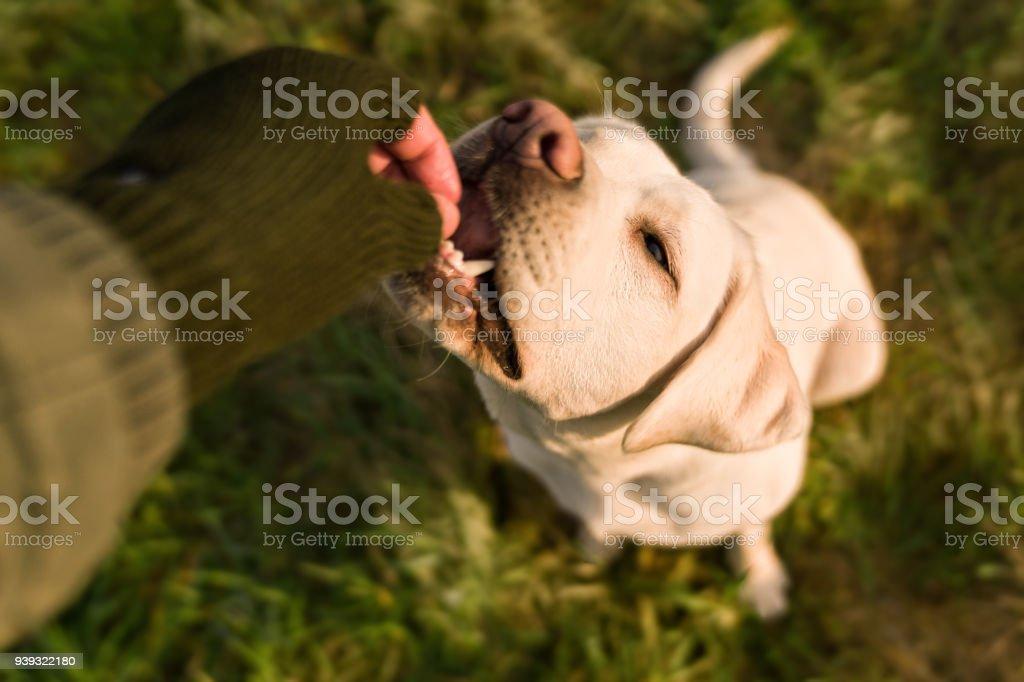 junger Labrador Retriever Hund Welpen Pet mit großen Augen essen essen Cookie gegeben ihm durch Person im freien – Foto