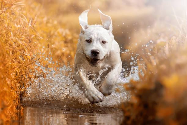 Young labrador retriever dog puppy running through river during picture id913004124?b=1&k=6&m=913004124&s=612x612&w=0&h=ht2bvfebg svcsjmggioybgj7qdltu79mfas1iz2uj0=