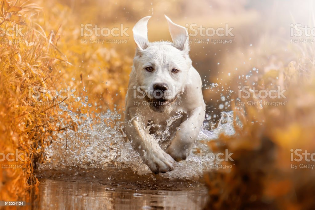 Junger Labrador Retriever Hund Welpe Fluss durchzogen, während der goldenen Sonnenuntergang – Foto