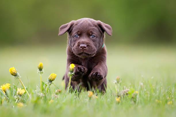 Young labrador retriever puppy Young puppy of brown labrador retriever dog photographed outdoors on grass in garden. labrador retriever stock pictures, royalty-free photos & images