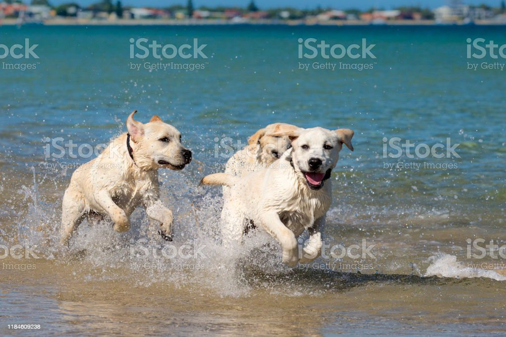 Young Labradors at the beach. Three young yellow Labradors racing each other through the shallow water at the beach. Animal Stock Photo