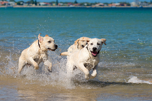 Young Labradors At The Beach Stock Photo - Download Image Now