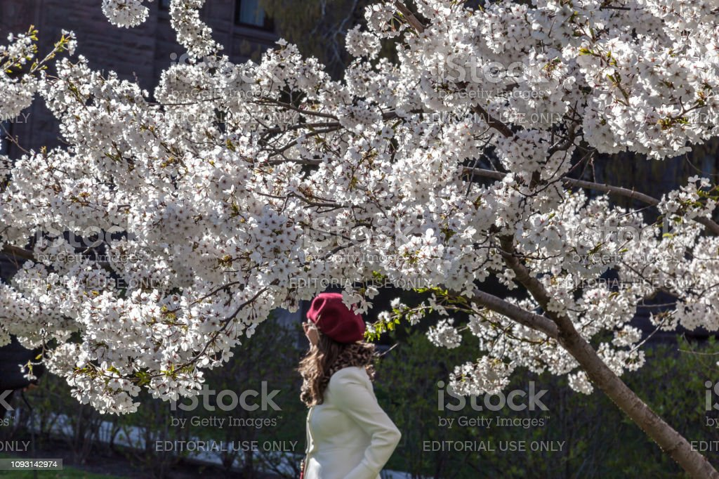A young lady with red hat under the blooming cherry trees stock photo