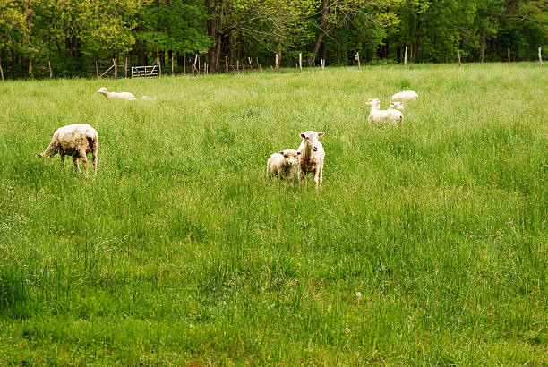 Young lamb and mother in a field stock photo