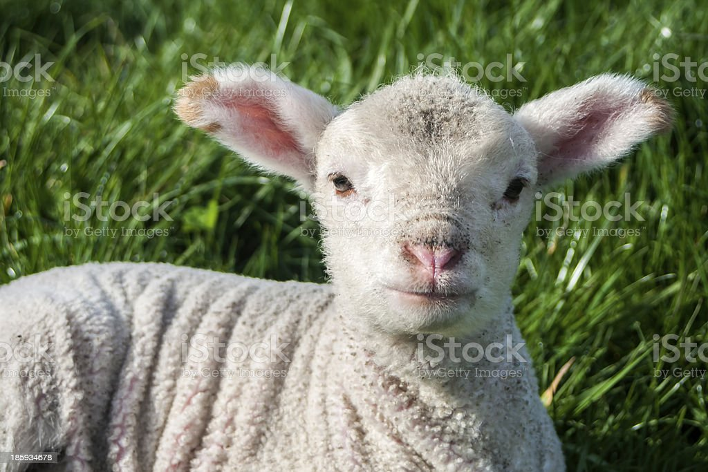 Young Lamb in Spring royalty-free stock photo