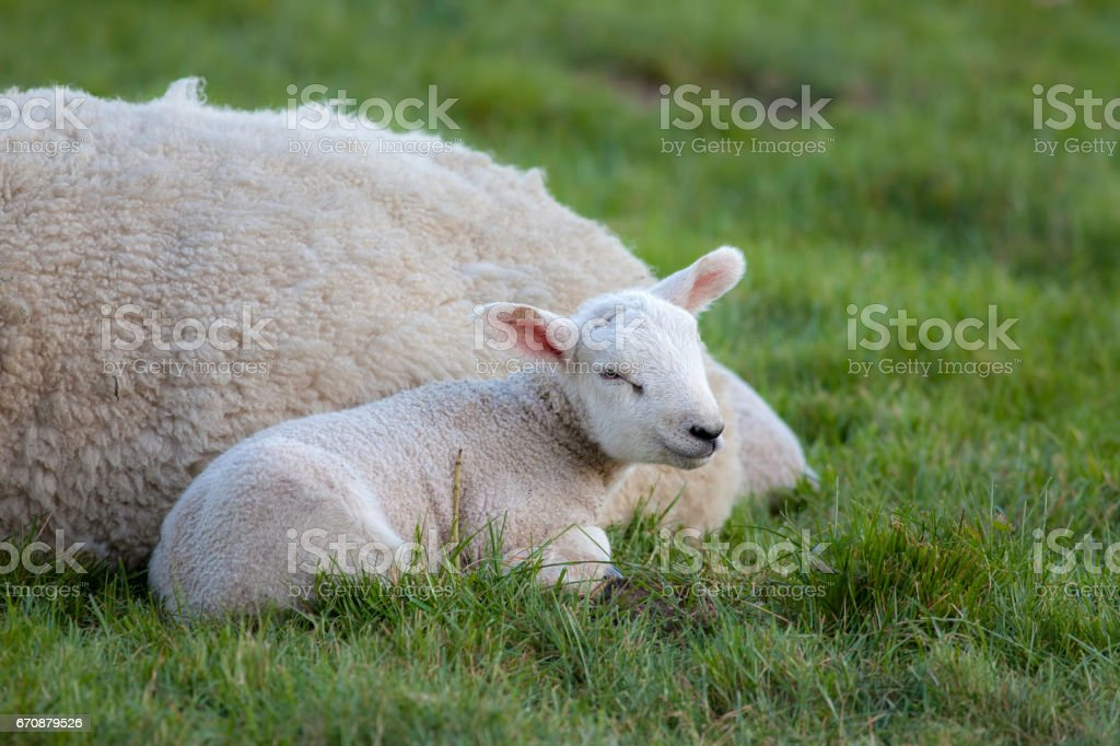 Young lamb laying by mother sheep in a field stock photo