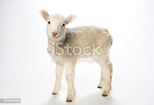 Young white lamb on white background looking at the camera with a curious expression. Pink lined ears and nose, bright black eyes and tiny black hooves with a curly nubby coat.
