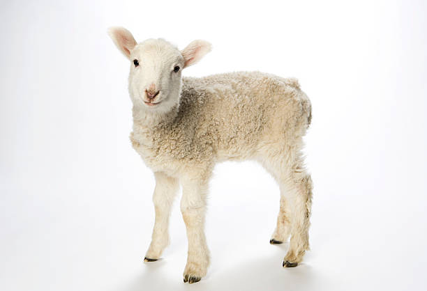 Young lamb on white background looking at camera picture id157590498?b=1&k=6&m=157590498&s=612x612&w=0&h=hd 3zwxc2oly ymij48kxsisgkxyvl9jh1lwtiurh0i=
